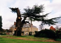 The old cedar tree after the storm